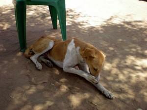 Permalink ke Distan Pekanbaru Akan Lakukan Pemusnahan Anjing Liar