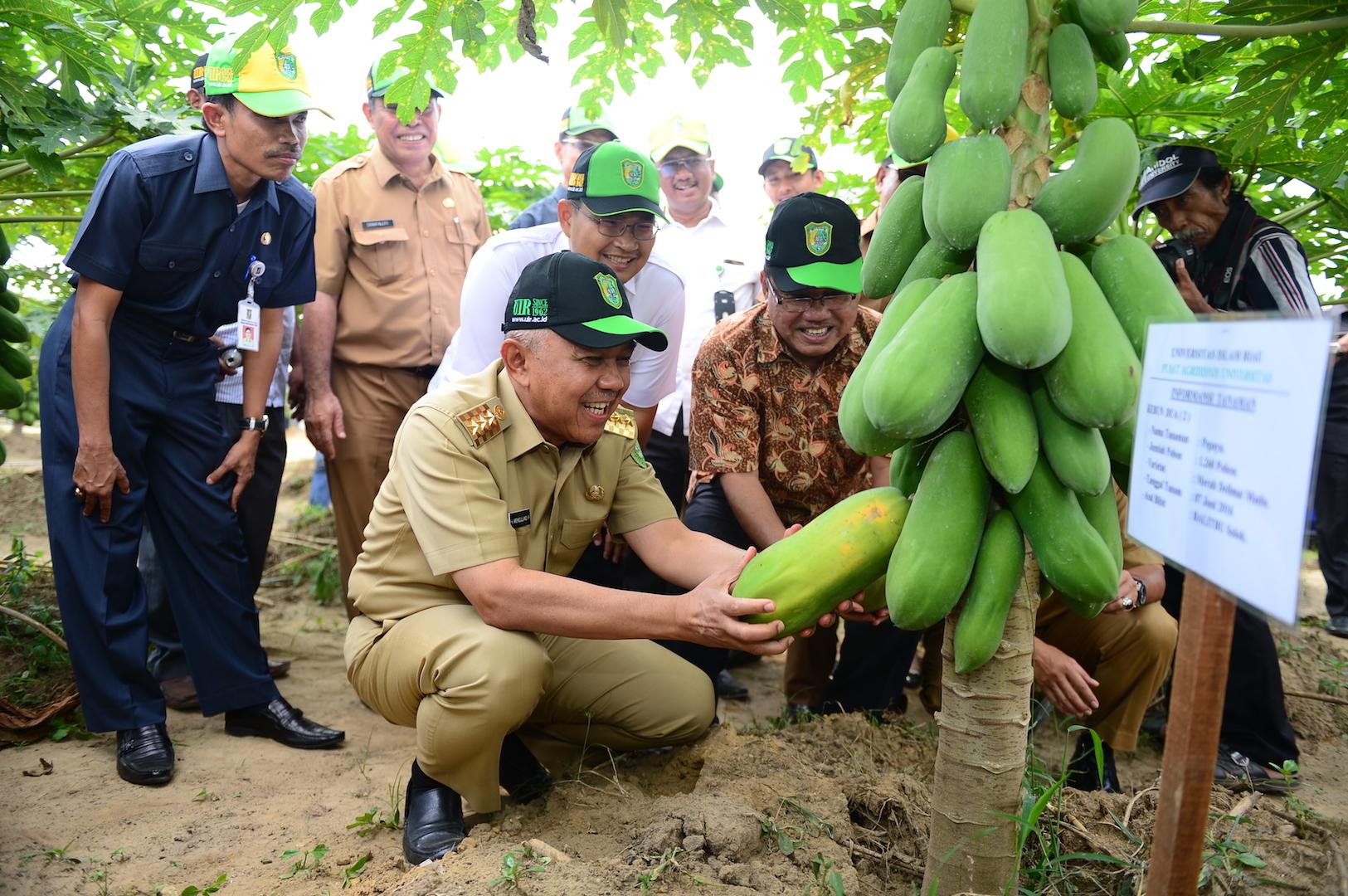 Permalink ke Gubri memanen buah pepaya di Pusat Agribisnis Universitas Islam Riau