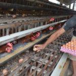 Kelompok Ternak Rokan Hilir Panen Perdana Telur Ayam