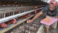 Permalink ke Kelompok Ternak Rokan Hilir Panen Perdana Telur Ayam