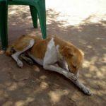 Distan Pekanbaru Akan Lakukan Pemusnahan Anjing Liar